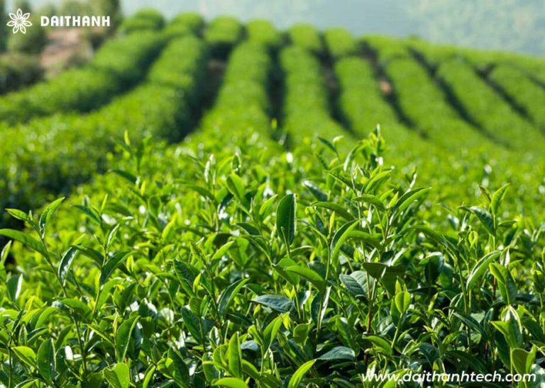 phun thuốc cho cây chè ở Thái Nguyên bằng máy bay nông nghiệp