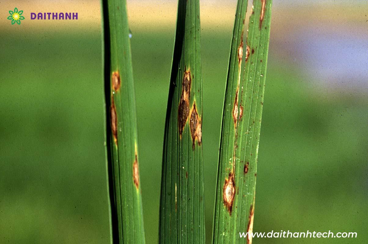 Điểm tên và cách phòng trừ hiệu quả bệnh hại thường xuất hiện trên cây lúa